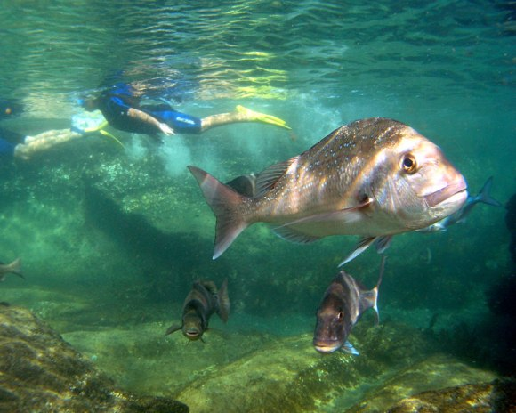 Snapper and snorkellers, Cape Rodney-Okakari Point Marine Reserve (Goat Island). Photo: Brian Mackie. DOC use only.