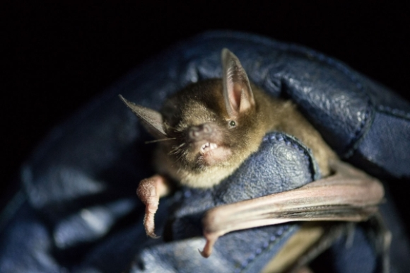 A native New Zealand bat. Photo: Graham Dainty.