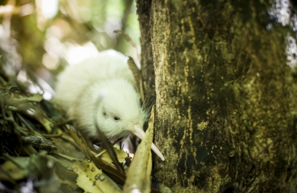 White kiwi at Pukaha Mount Bruce.