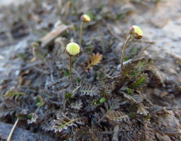 Leptinella filiformis (slender button daisy) bud.