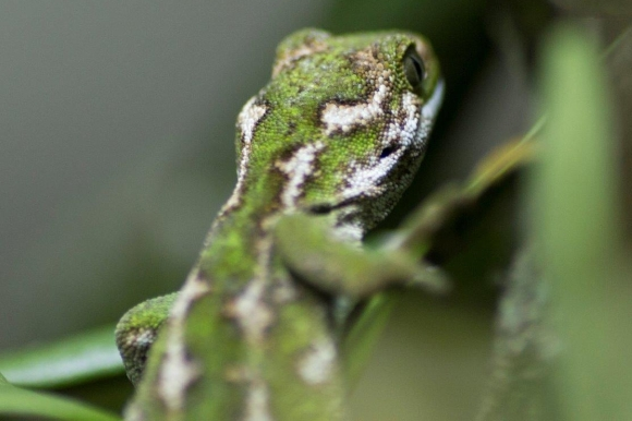 Close up of the male jewelled gecko. Photo: Simon Eyre/Wellington Zoo.