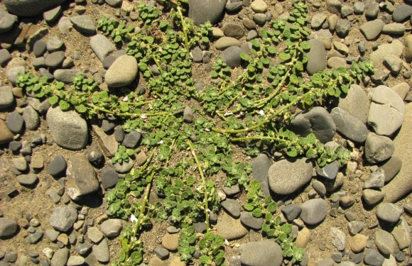 Pygmy goosefoot (green variant).