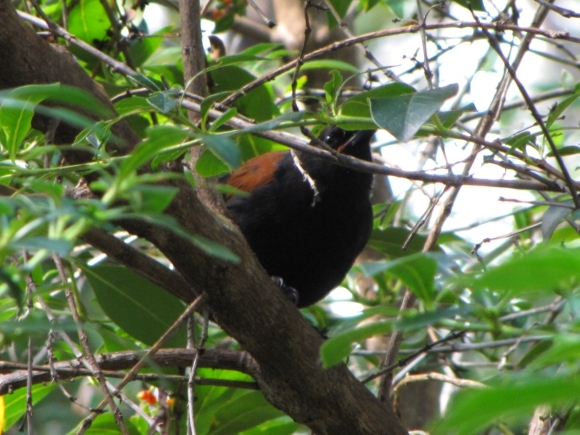 Tīeke in a tree.