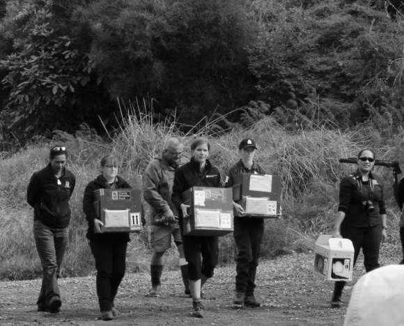DOC rangers carrying kiwi in carry boxes.