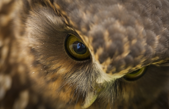 Morepork up close at Wingspan Birds of Prey Centre. Photo © Sabine Bernert.