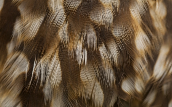 Morepork feathers. Photo © Sabine Bernert.