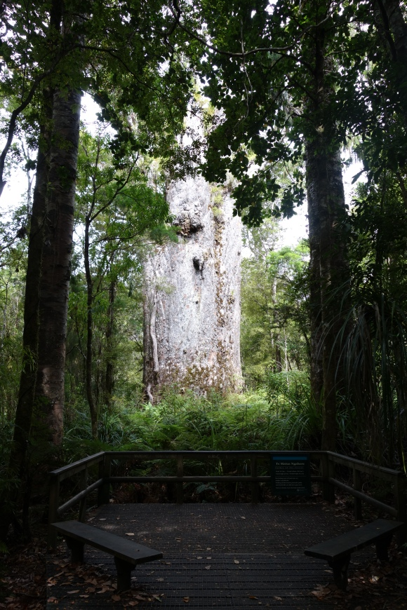 Te Matua Ngahere kauri tree. Photo: Beverley Bacon.