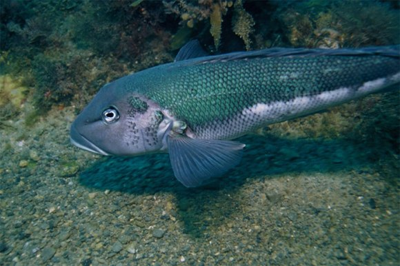 Blue cod, near Arapawaiti Point, Kāpiti Island Marine Reserve. Photo © Malcom Francis / NIWA.