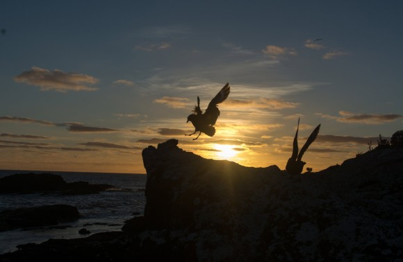 A pair of brown skua at sunrise on Rangatira/South-East Island.