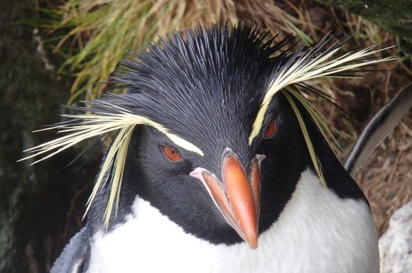 Eastern rockhopper penguin.