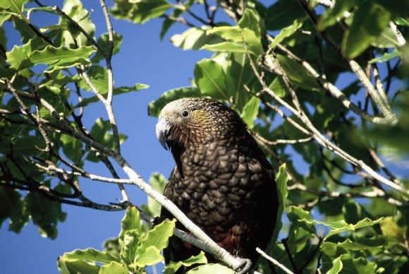 North Island Kaka, Kāpiti Island. Photo: Nadine Gibbs.
