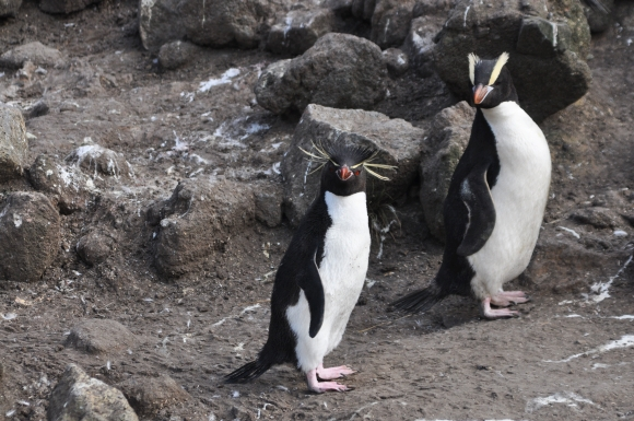 Eastern rockhopper penguin and erect-crested penguin. Photo by Kath Walker.