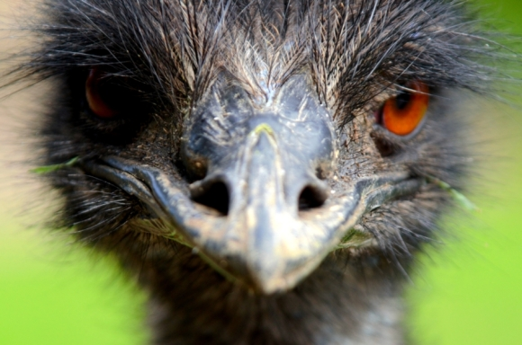 Emu. Photo: Kiwi Flickr | CC BY 2.0.