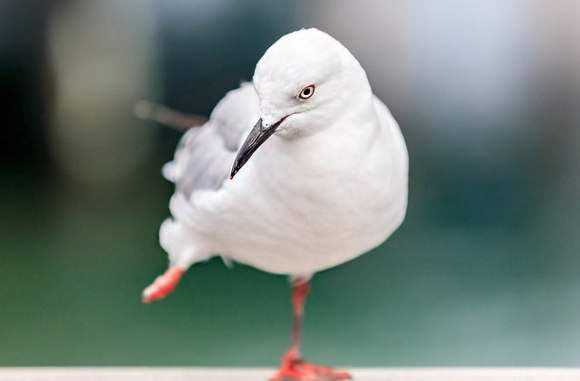 Black-billed gull.  Photo: Some guy called Darren | flickr | CC BY-NC-ND 2.0.