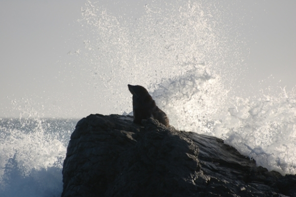 A New Zealand fur seal on a rock with waves breaking behind it. Photo: Paul Little.