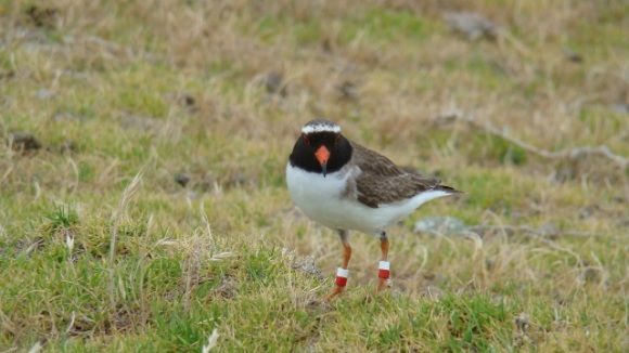 A New Zealand shore plover.