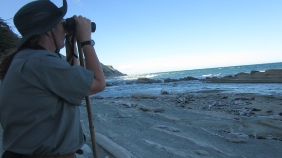 Helen Jonas on the beach looking for shore plovers through binoculars.