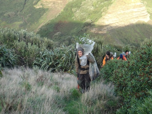 Polly carrying big plastic bags of trees to be planted. Mangere Island, Chathams.