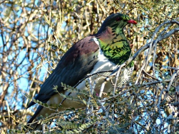 A kererū in the tree.