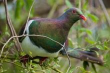 New Zealand pigeon / kererū / kūkū / kūkupa. Photo: Sabine Bernert ©