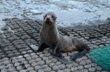 New Zealand fur seal. Photo: Don Herron | DOC.
