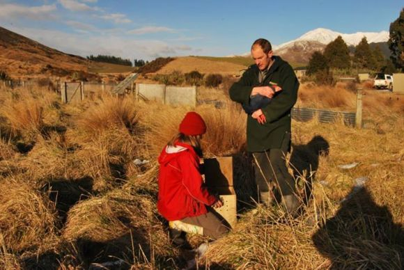Placing a caught takahē in a transportation box.