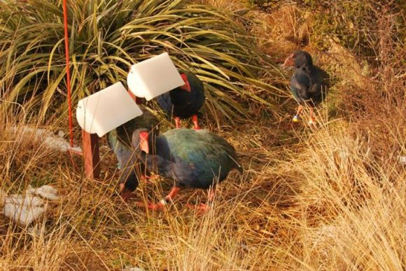 Takahē eating.