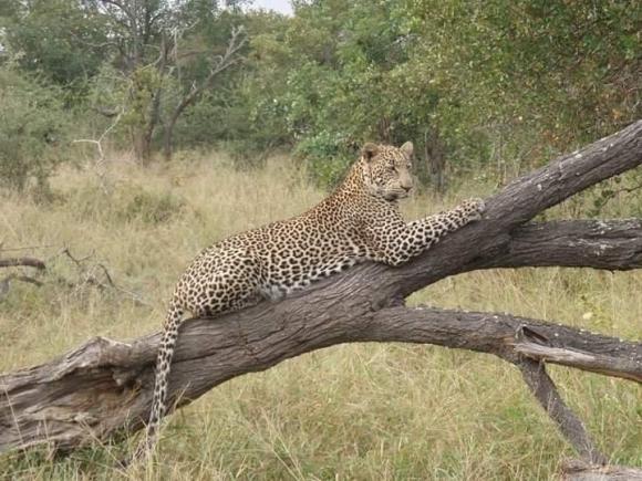 A cheetah lying on a tree during a safari.