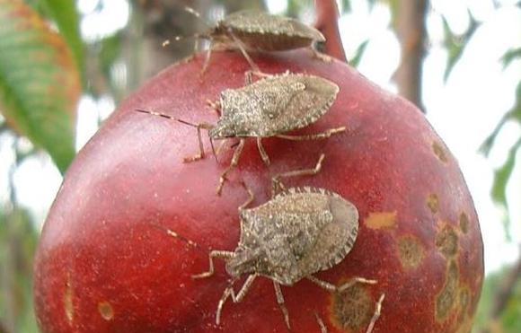 Three brown marmorated stink bugs on an apple.
