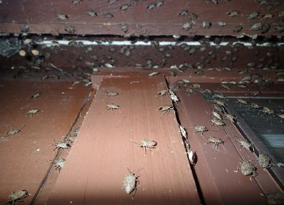 Infestation of the brown marmorated stink bug.