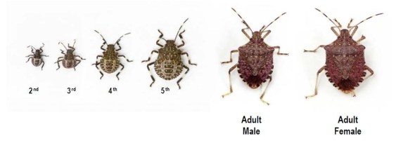 The life cycle of the brown marmorated stink bug. Photo: Dr Tracy Leskey.