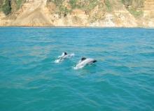 maui-dolphin-potw
