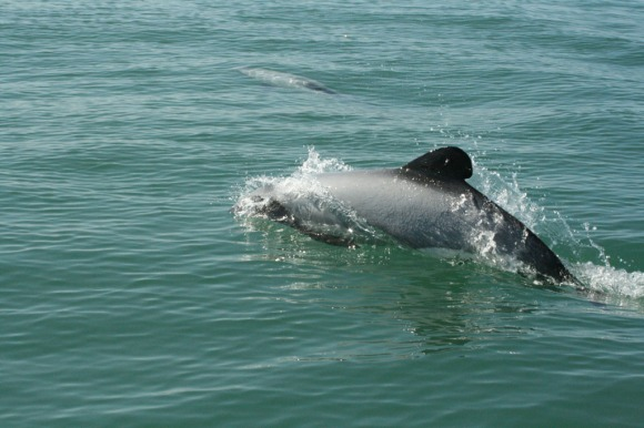 Māui dolphin between Kaipara harbour and New Plymouth. Photo: Stanley Martin.