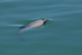 Māui dolphin. Photo: Silvia Scali.