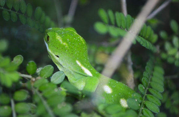 A Wellington green gecko.