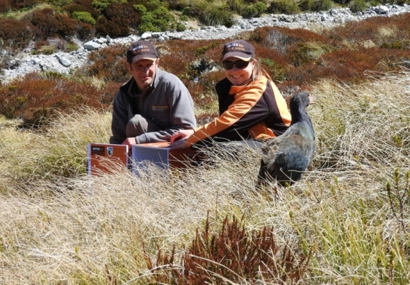 A takahē being released in the Murchison Mountains.