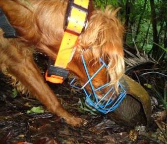 Conservation dog sniffing out a kiwi.