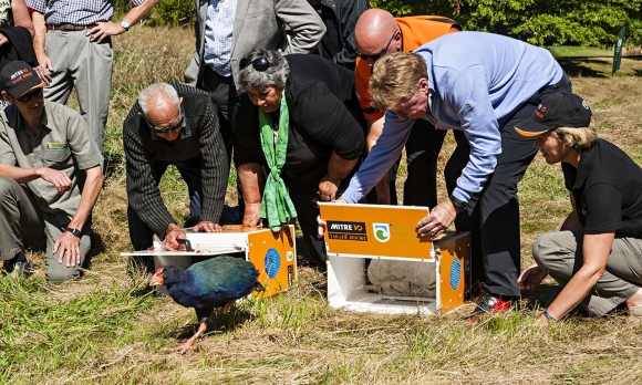 Takahē release at Wairakei Golf + Sanctuary. Photo: Albert Aanensen.
