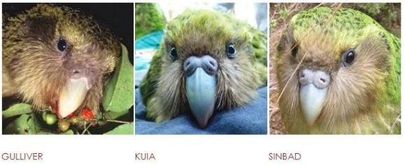Gulliver, Kuia and Sinbad are three of the 14 kākāpō up for adoption.