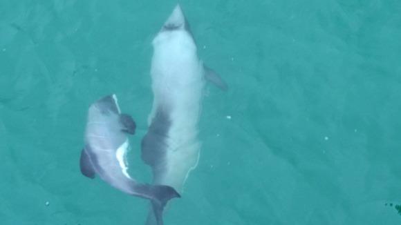 baby-hectors-dolphin