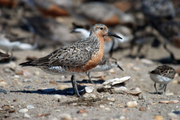 New Zealand red knot. Photo: DOC.
