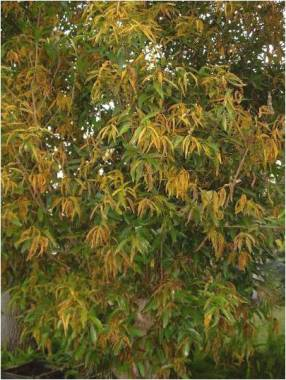 Myrtle rust on a tree in Australia.