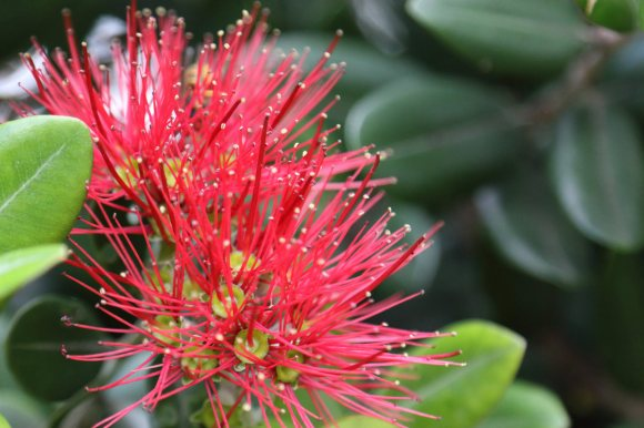 Pōhutukawa in flower. Photo by J. E. McGowan