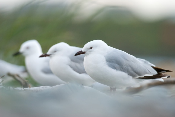 Black billed gull. Photo: Andrew Walmsley.