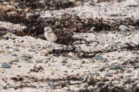 Dotterel chick.