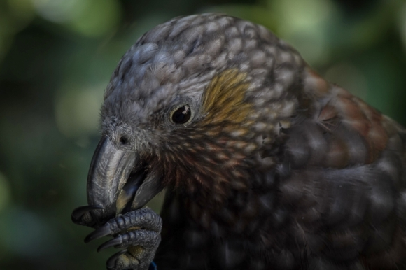 North Island Kākā. Photo © Janice McKenna.