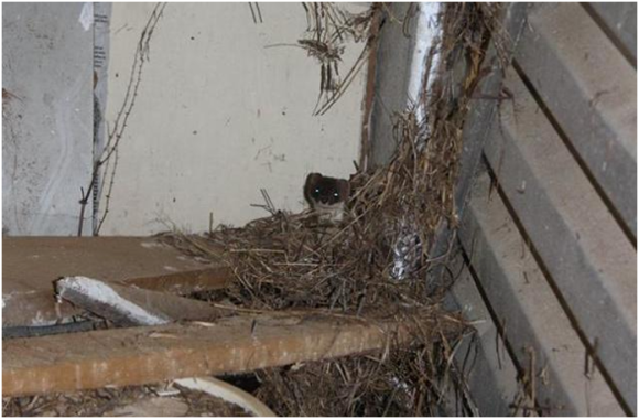 Stoat spotted by Nicola Toki in a garage.