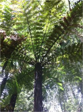 tree-fern/wheki