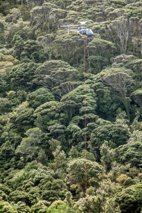 Helicopter pilot Remco Coenra deftly lowers Brad Lett into the canopy of a rātā moehau to collect samples for DNA analysis. Photographer: Jeremy Rolfe.