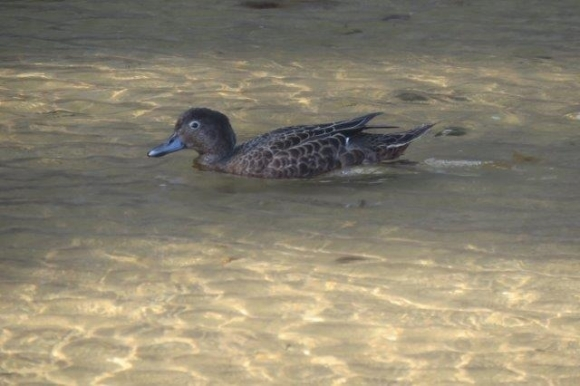 Pāteke/brown teal.